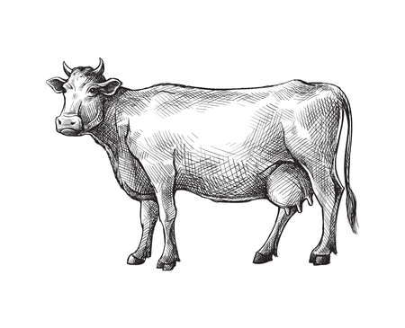 sketches of cow drawn by hand. livestock. cattle. animal grazing vector illustration Vectores