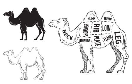 Cut of camel set. Poster Butcher diagram - desert-ship. Vintage typographic hand-drawn. Vector illustration