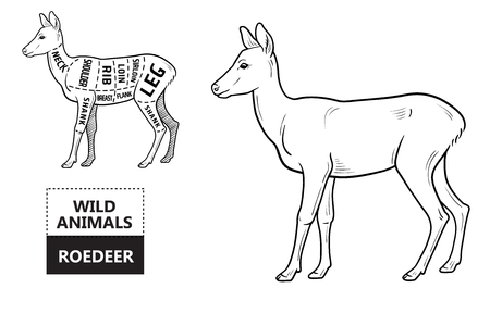 Cut of roedeer set. Poster Butcher diagram - roe. Vintage typographic hand-drawn. Ilustracja