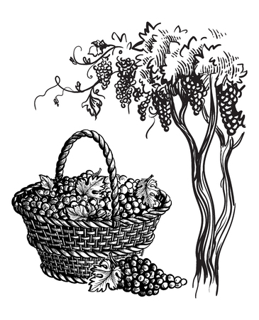 Basket with grapes and tree. Vector sketch illustration Иллюстрация