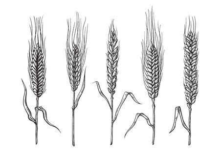 różne odmiany pszenicy ciągnione ręcznie. Szkic ilustracji wektorowych