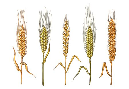 different varieties of wheat drawn by hand. Vector sketch illustration