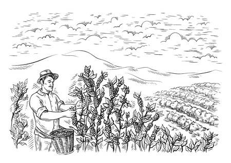 man gatherer harvests coffee at coffee plantation landscape in graphic style hand-drawn vector illustration. Ilustrace