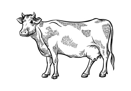 Hand drawn fresh slice sketch cattle cow stands in the meadows and stings weed vector illustration