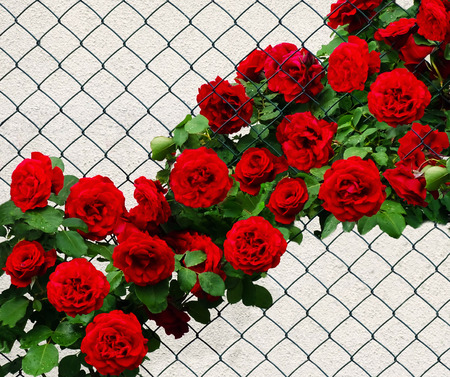 Don Juan's climber on a wire fence. A bush rose with many red flowers and green leaves on the background of a white wall.