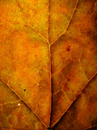 Extreme texture macro shot of orange autumn tree leaf