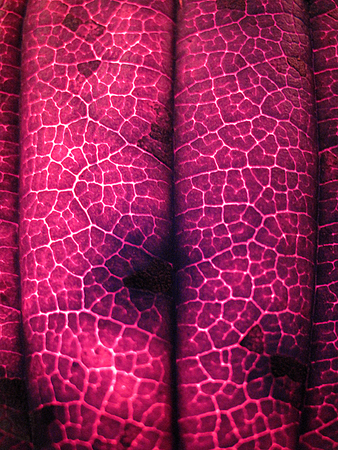 Extreme texture macro shot of purple autumn tree leaf Stock Photo