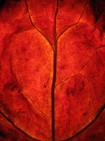 Extreme texture macro shot of red autumn tree leaf