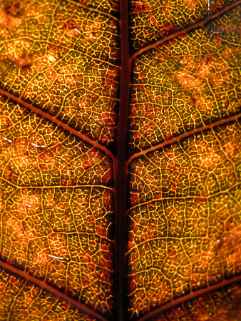 Extreme texture macro shot of orange green autumn tree leaf Stock Photo