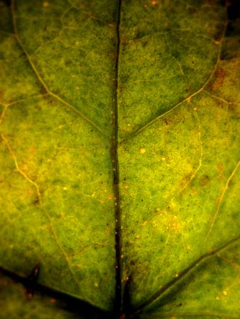 Extreme macro shot or texture green autumn tree leaf