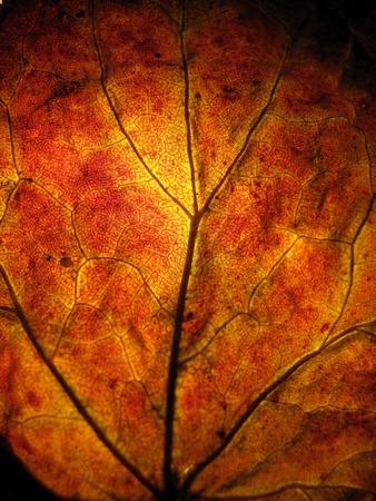 extreme macro: Extreme macro shot or texture red orange autumn tree leaf Stock Photo