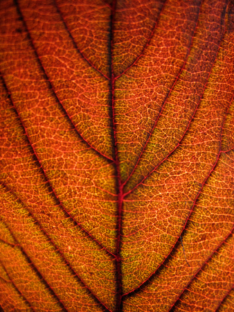 Extreme texture macro shot of orange autumn tree leaf