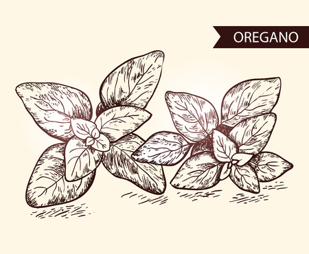 Oregano. Herb and spice label. Engraving illustrations for tags. Vector sketches of vegan food. Hand drawn plants.