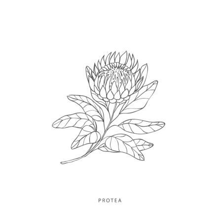 Hand drawn plant branches. Greenery design elements. Botanical logo of protea.