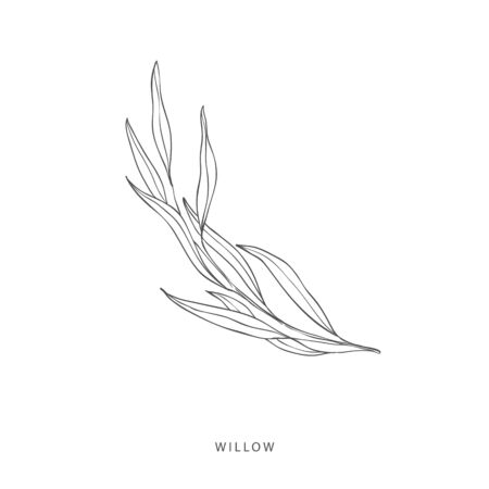 Hand drawn plant branches. Greenery design elements. Botanical logo of willow.