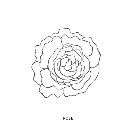Hand drawn rose flower.Plant design elements. Botanical logo. Illustration