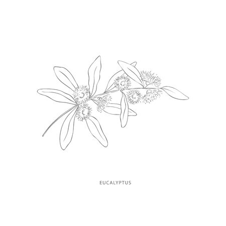 eucalyptus flower.Plant design elements. Botanical .