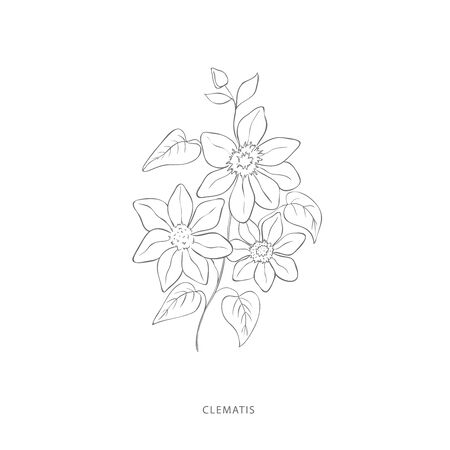 clematis flower.Plant design elements. Botanical .
