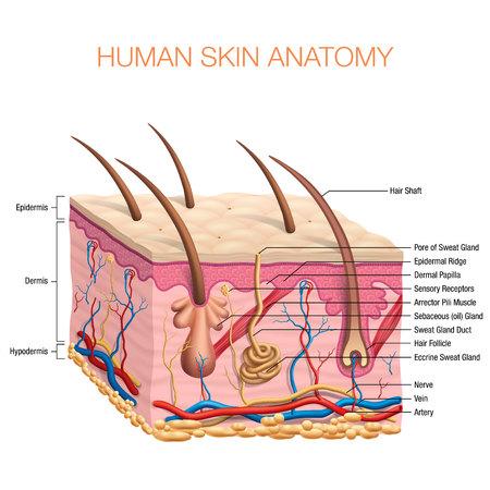 Human Skin Anatomy vector illustration isolated background Stock Illustratie
