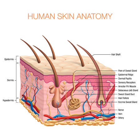 Human Skin Anatomy vector illustration isolated background Illustration