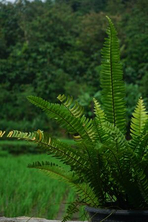 Nephrolepis exalta (Sword Fern). Beautiful ferns leaves green foliage. Close up of beautiful growing ferns