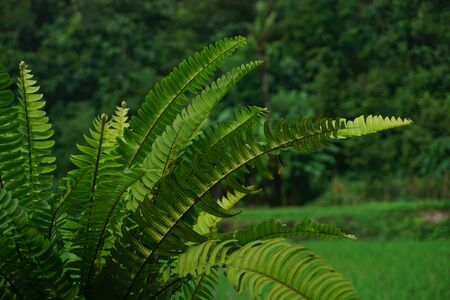 Nephrolepis exalta (Sword Fern). Beautiful ferns leaves green foliage with rice field and mountain background. Close up of beautiful growing ferns Stok Fotoğraf