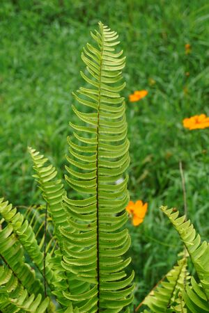 Nephrolepis exalta (Sword Fern). Close up of beautiful growing ferns Stok Fotoğraf