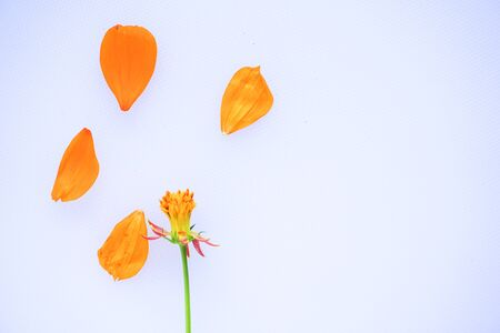 flower petals on white background. Top view. Copy space for text Banco de Imagens - 150092318