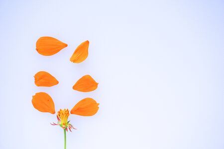 orange flower petals on white background. Top view. Copy space for text Banco de Imagens - 150092322