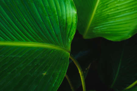 Tropical green banana taro leaf. fresh summer background concept