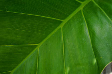 green Taro leaves close up. tropical summer plant