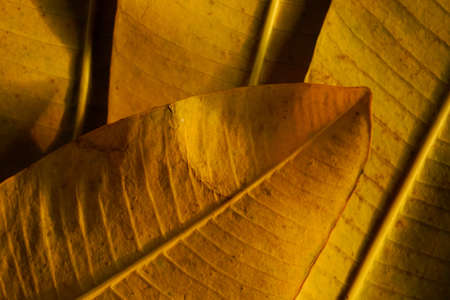 autumn yellow leaves close up. autumnal season concepts background