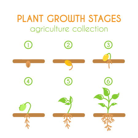 Vector plant growth stages. Growing plant illustration. Planting process infographic design. Flat argiculture collection.