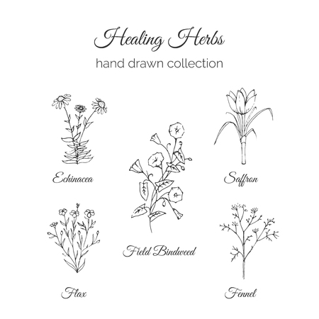 holistic health: Holistic Medicine. Healing Herbs Illustration. Handdrawn Echinacea, Flax, Field Bindweed, Saffron and Fennel. Health and Nature collection. Vector Ayurvedic Herb. Herbal Natural Supplements. Organic plants. Illustration