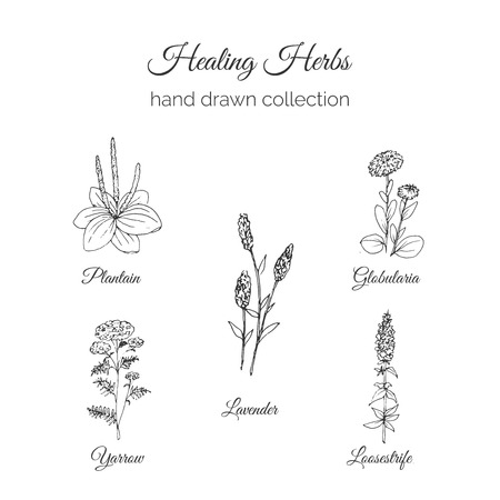 plantain herb: Holistic Medicine. Healing Herbs Illustration. Handdrawn Plantain, Lavender, Globularia, Loosestrife and Yarrow. Health and Nature collection. Vector Ayurvedic Herb. Herbal Natural Supplements. Organic plants.