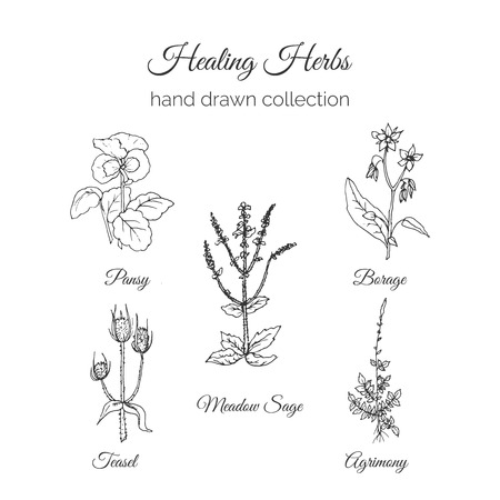 sage: Holistic Medicine. Healing Herbs Illustration. Handdrawn Meadow Sage, Agrimony, Borage, Pansy and Teasel. Health and Nature collection. Vector Ayurvedic Herb. Herbal Natural Supplements. Organic plants. Illustration