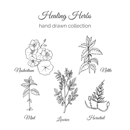 nettle: Holistic Medicine. Healing Herbs Illustration. Handdrawn Nasturtium, Nettle, Mint, Licorice and Horsetail. Health and Nature collection. Vector Ayurvedic Herb. Herbal Natural Supplements. Organic plants.