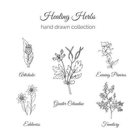 greater: Holistic Medicine. Healing Herbs Illustration. Handdrawn Artichoke, Greater Celandine, Evening Primros, Fumitory and Edelweiss. Health and Nature collection. Vector Ayurvedic Herb. Herbal Natural Supplements. Organic plants.