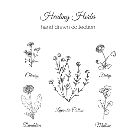 Holistic Medicine. Healing Herbs Illustration. Handdrawn Chicory, Dandelion, Lavender Cotton, Mallow and Daisy. Health and Nature collection. Vector Ayurvedic Herb. Herbal Natural Supplements. Organic plants.