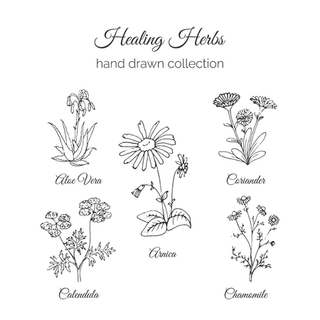 arnica: Holistic Medicine. Healing Herbs Illustration. Handdrawn Aloe vera, Arnica, Calendula, Chamomile and Coriander. Health and Nature collection. Vector Ayurvedic Herb. Herbal Natural Supplements. Organic plants. Illustration