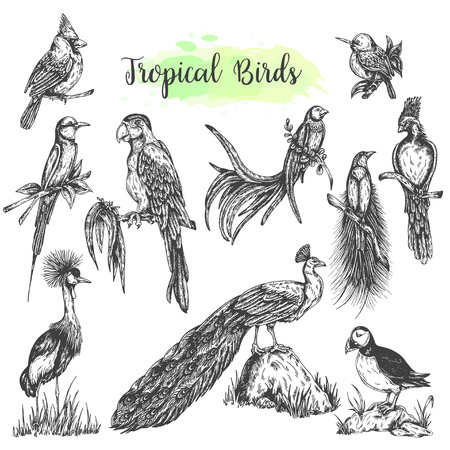 Exotic tropical birds vector Hand drawn parrot. Sketch style ara, peacock, cardinal Vector isolated bird