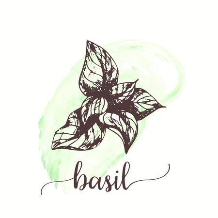 Schizzo di basilico su pittura ad acquerello. Illustrazione di inchiostro disegnato a mano di foglia di basilico. Disegno vettoriale per tag, carte, imballaggi, promo Vettoriali