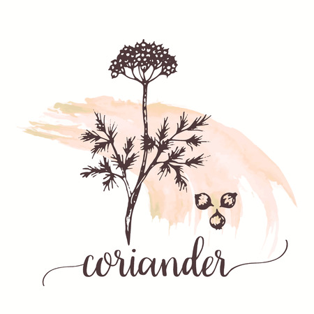 Coriander vector hand drawn illustration on watercolor paint. Hand drawn ink sketch Engraved style cilantro spice