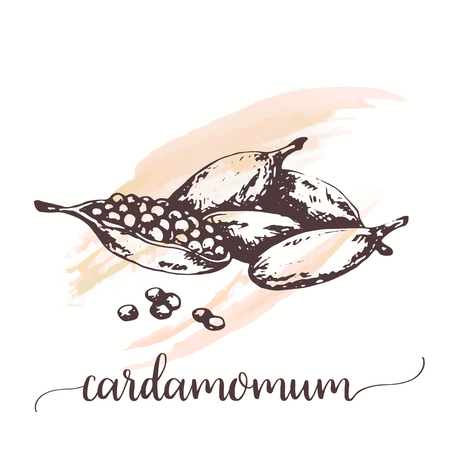 Cardamom sketch on watercolor paint. Hand drawn ink illustration of spice. Vector design for tags, cards, packaging, promo for restaurant, cafe or bakery Ilustracje wektorowe