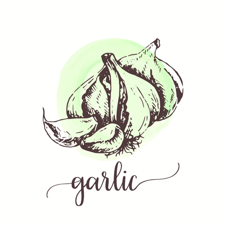 Garlic sketch on watercolor paint. Hand drawn ink illustration Vector design for tags, cards, packaging, promo for restaurant menu