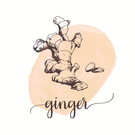 Ginger sketch on watercolor paint. Hand drawn ink illustration Vector design for tags, cards, packaging, promo for bakery Ilustracje wektorowe