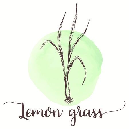 lemongrass sketch on watercolor paint. Hand drawn ink illustration of lemon grass tea. Vector design for tags, cards, packaging, promo Illustration