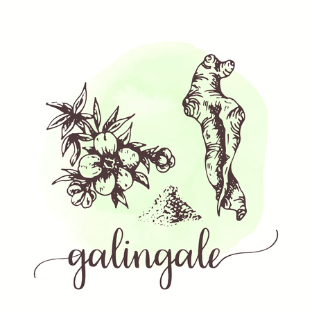 Galingale sketch on watercolor paint. Hand drawn ink illustration of vanilla flower and stick. Vector design for tags, cards, packaging, promo