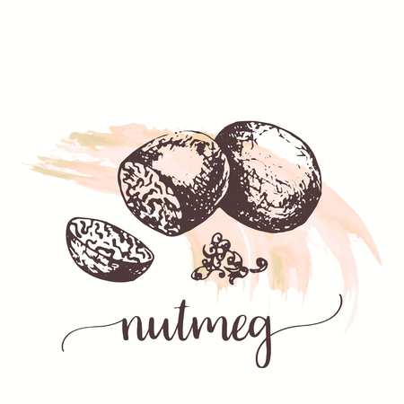 Nutmeg nut seed sketch on watercolor paint. Hand drawn ink illustration of organic spice . Vector design for tags, cards, packaging, promo for cosmetics in vintage style