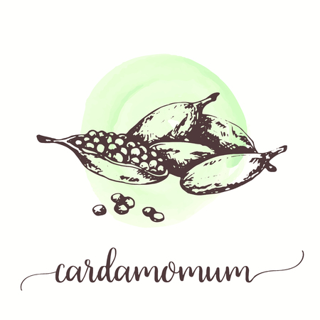 Cardamom spice fruit with seeds. Vector hand drawn vintage engraving illustration of spice Designs for promo, labels, posters, menu, packaging
